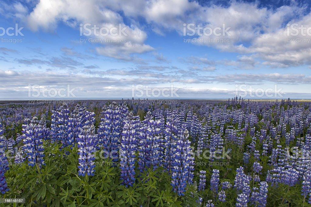 Endless Bluebonnets  ( Lupinus ) stock photo