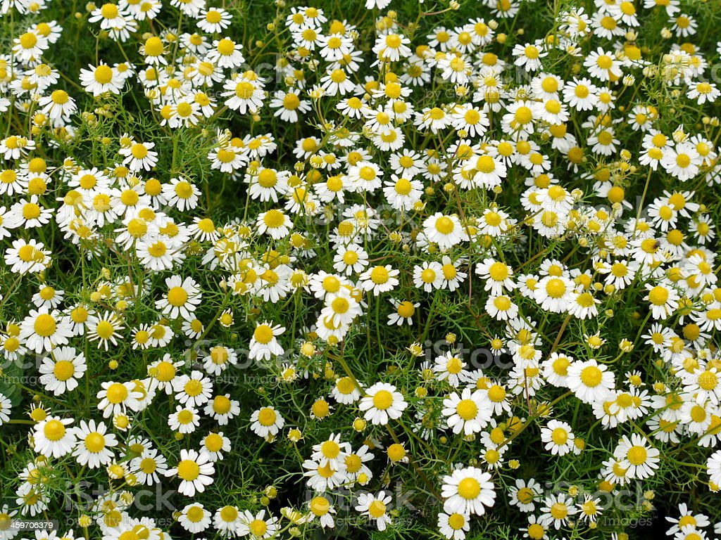Endless chamomile blossoms in the meadow stock photo