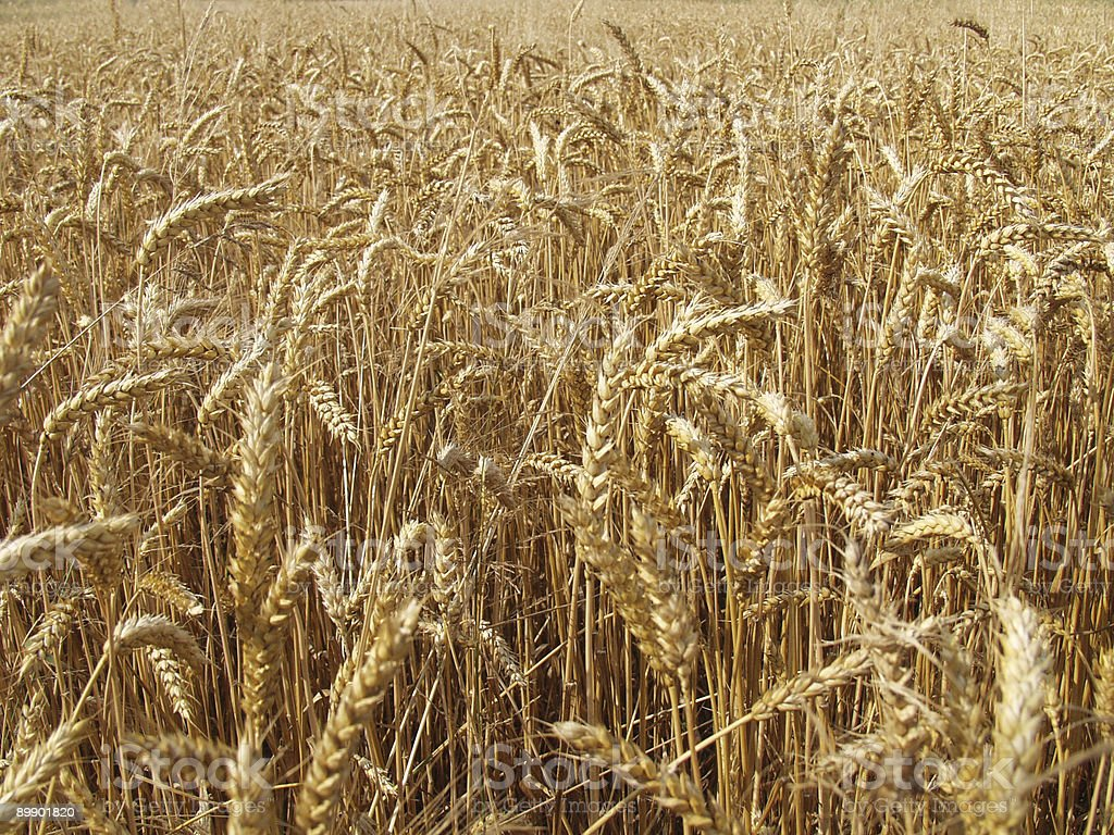 Endless field of rye royalty-free stock photo