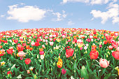 Endless panoramic field flower bed of many red and yellow tulips under blue sunny sky. Spring Easter floral backdrop with copy space. 8 March or Mother's Day