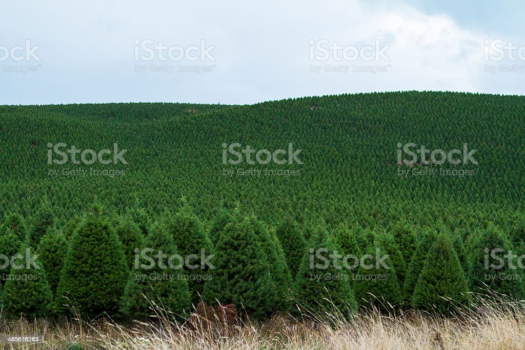 Endless fields of Christmas trees stock photo