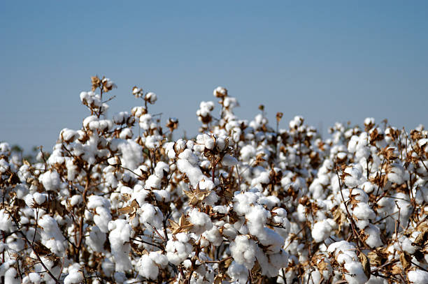 Endless fields of unpicked cotton in bloom during Spring                                 cotton field cotton stock pictures, royalty-free photos & images