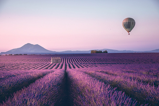 Endless lavender field with little shed and flying hot air balloon at a sunrise time in Valensole, Provence, France