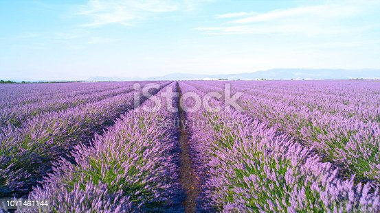 CLOSE UP: Endless lines of blooming lavender in sunny France on a beautiful summer day