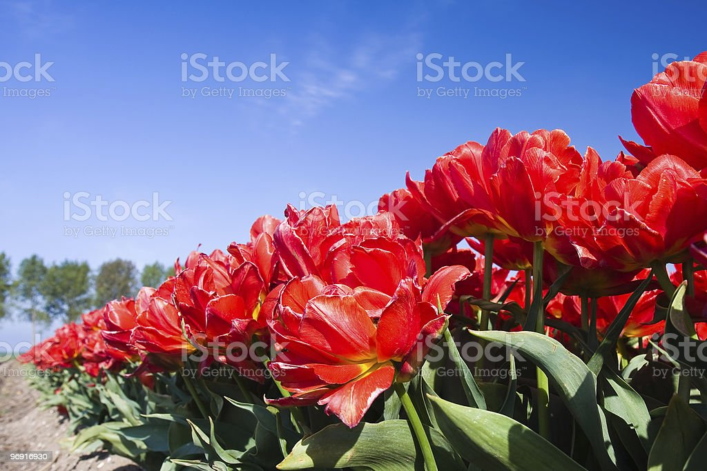 Endless row of red tulips up to the horizon royalty-free stock photo
