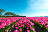 Endless rows of dark pink flowering tulips at a large Dutch bulb nursery. It is springtime
