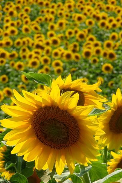endlose sonnenblumen - herpens stock-fotos und bilder