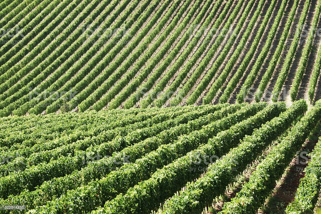 Endless vineyard field royalty-free stock photo