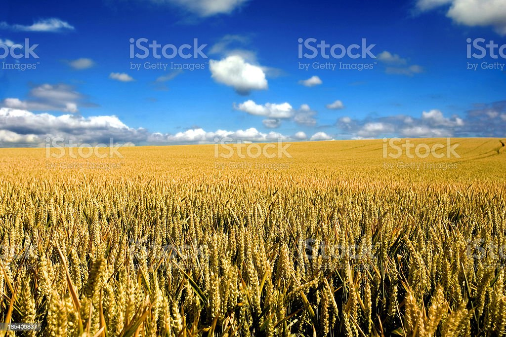 Endless wheat field royalty-free stock photo