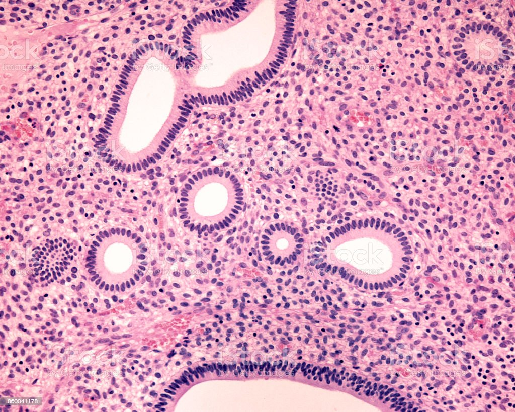 Endometrium. Proliferative phase stock photo