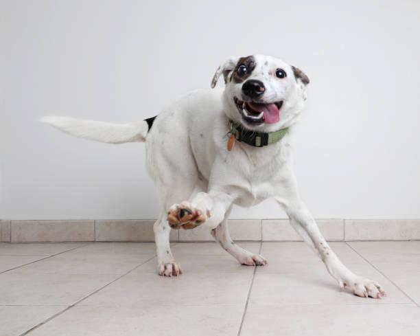 Energetic australian cattle dog mixed breed dog hoping to be adopted picture id1001199382?b=1&k=6&m=1001199382&s=612x612&w=0&h=dt fmcmre4j cqaqlxf4efhoamfzj3qmivirohhqwes=