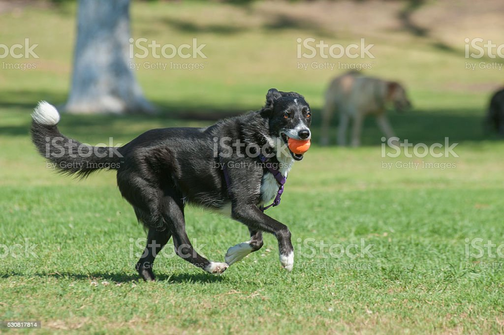 Energetic herding dog having fun stock photo