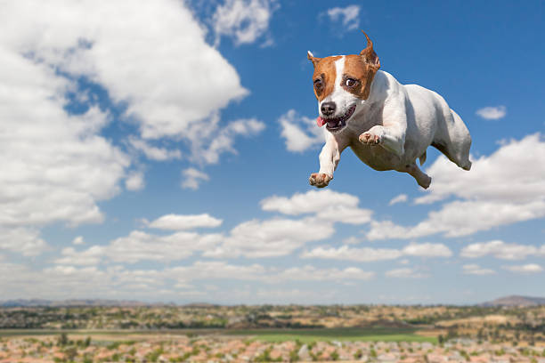 energetic jack russell terrier dog flying in the sky - dog jumping stock photos and pictures