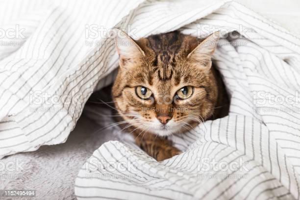 Energizer young tabby mixed breed cat under light gray plaid in pet picture id1152495494?b=1&k=6&m=1152495494&s=612x612&h=a2nuugpgwm kox4vitkig5xx85zfoez1ehxw5thuzto=
