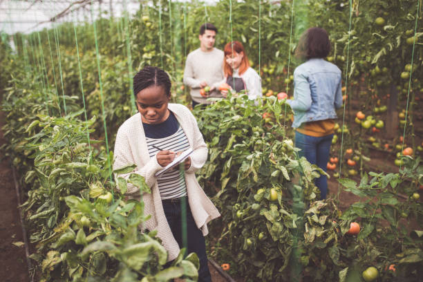 Engineering in Agriculture Farmers Picking Tomatoes While Engineer Memorizing Produce Quality agricultural cooperative stock pictures, royalty-free photos & images