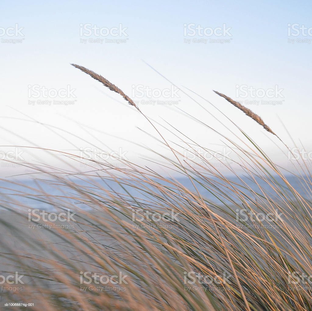 England, Norfolk Coast, Maron grasses on beach photo libre de droits