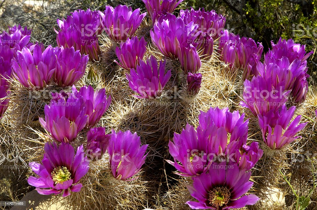 Englemann's Hedgehog Cactus Blossoms stock photo