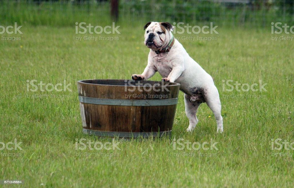 englische bulldogge im garten stock photo