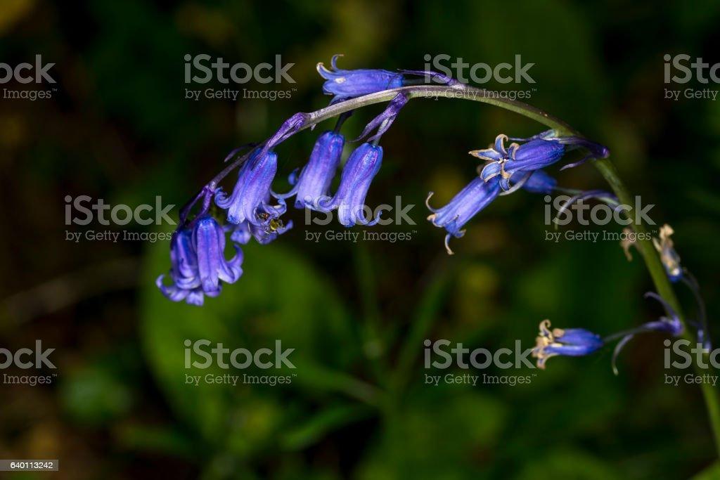 English bluebell stem, Hyacinthoides non-scripta stock photo