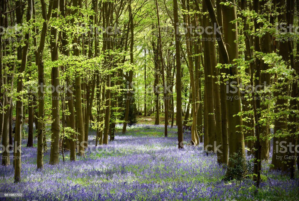 English Bluebell wood stock photo