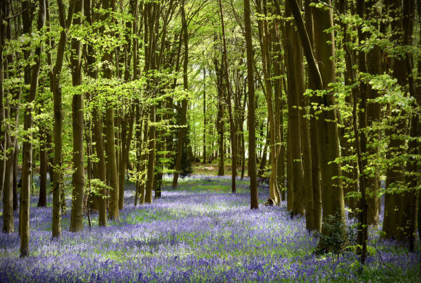 English Bluebell wood Wild bluebells carpet a woodland glade in England during spring buckinghamshire stock pictures, royalty-free photos & images