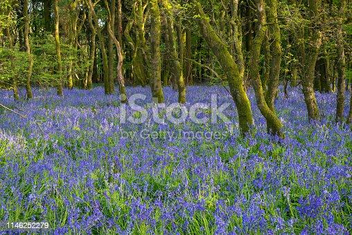Old English Bluebell woodland in Springtime Dorset.