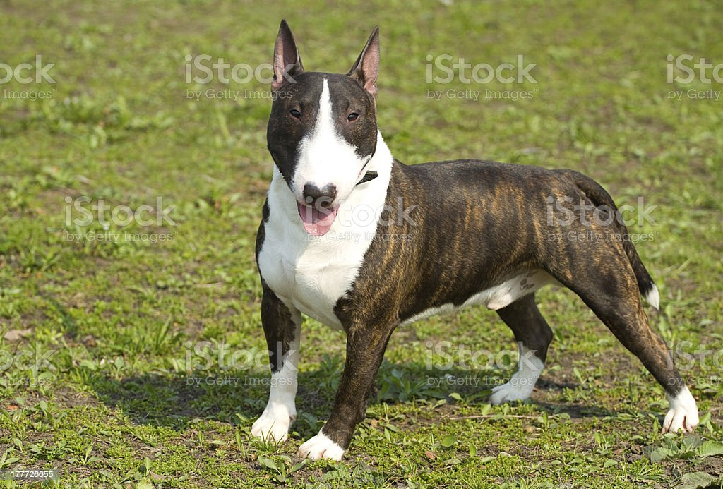 English Bull Terrier Stock Photo Download Image Now Istock