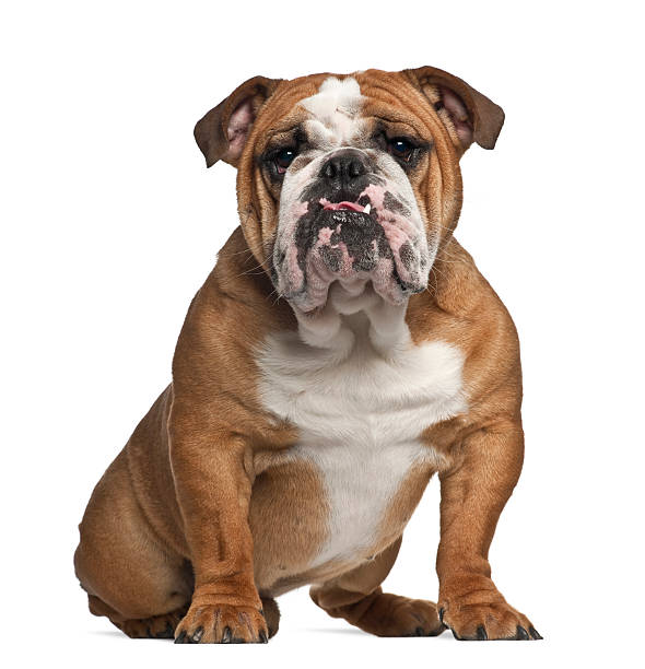 English Bulldog, 10 months old, sitting against white background English Bulldog, 10 months old, sitting against white background bulldog stock pictures, royalty-free photos & images