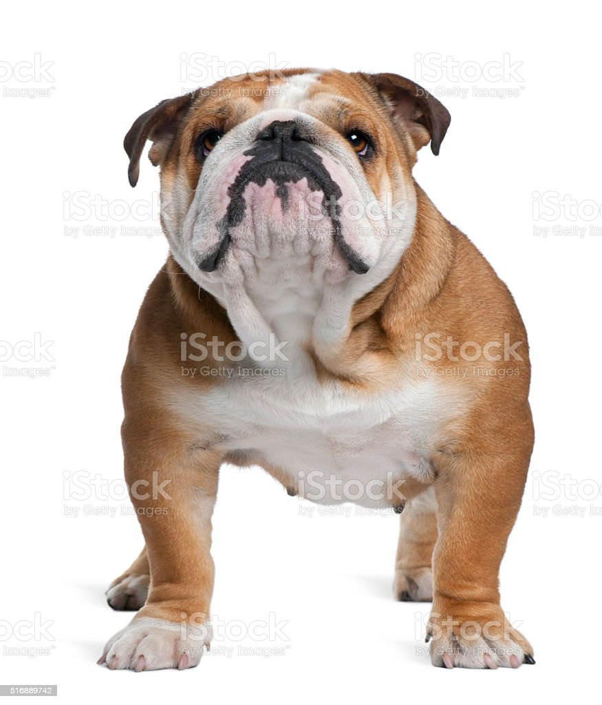 English Bulldog, 18 months old, standing stock photo