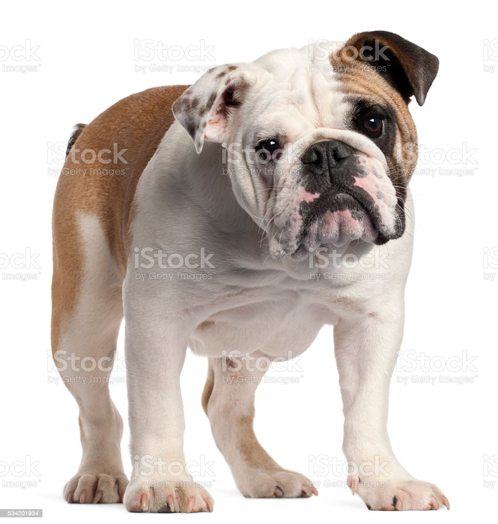 English bulldog, 7 months old, standing stock photo