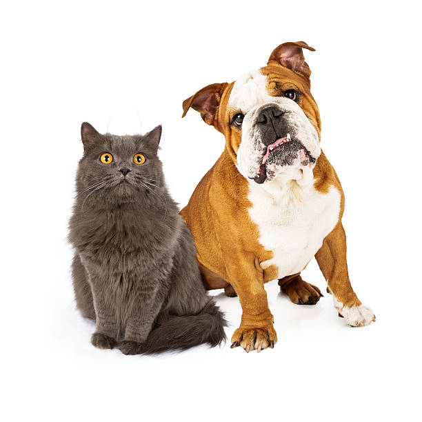 English bulldog and gray cat picture id503603537?b=1&k=6&m=503603537&s=612x612&w=0&h=grfeqbhbfr3bagqdmamjhofiyew0ns pt7o5dsz4sie=
