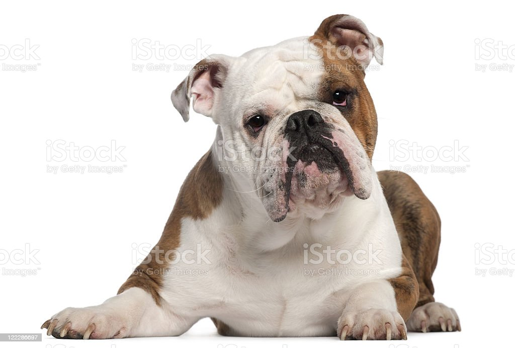 English Bulldog, eighteen months old, lying, white background. stock photo