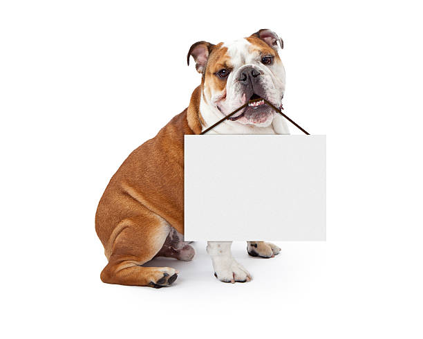 English Bulldog Holding Blank Sign A young nine month old English Bulldog sitting against a white background holding a blank sign in his mouth bulldog stock pictures, royalty-free photos & images