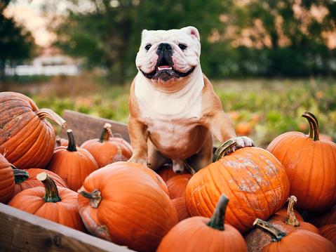 An English bulldog sitting in a pumpkin wagon.