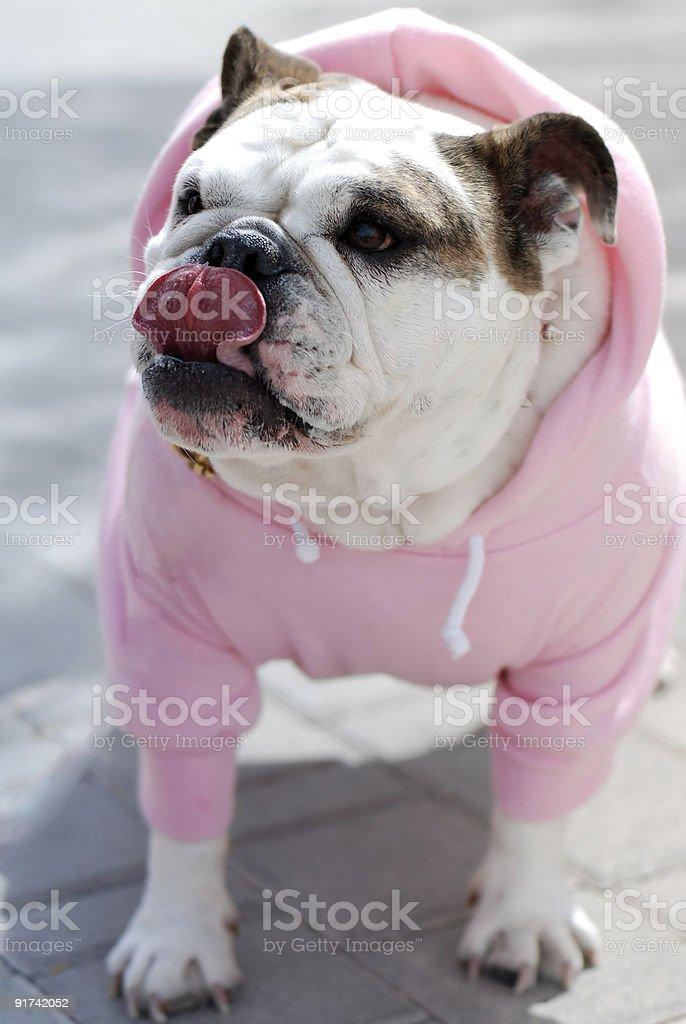 English Bulldog in pink royalty-free stock photo