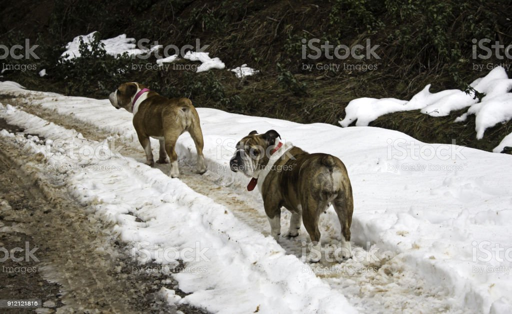 English Bulldog in snow stock photo