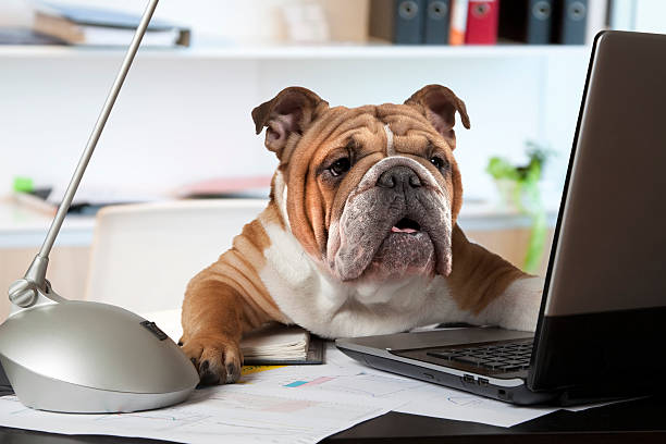 English Bulldog in the office stock photo