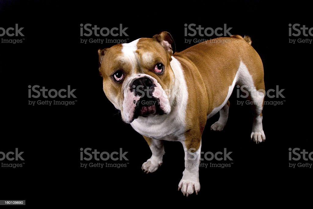 English Bulldog looking up. royalty-free stock photo