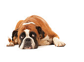 Sad dog lying down and looking up against white background