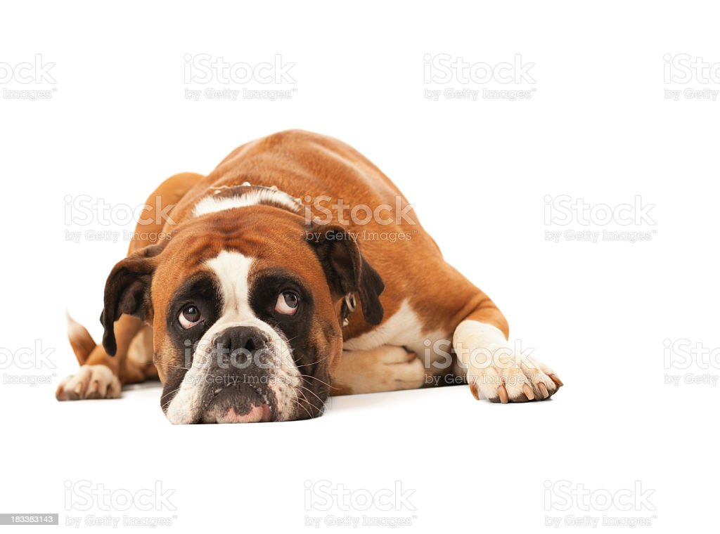 English bulldog lying down and looking up stock photo