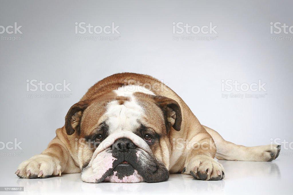 Foto De Bulldog Inglês Deitado Sobre Um Fundo Cinza E Mais Banco De