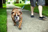 A man takes his cute British bulldog for a walk down city suburb sidewalk, green grass and trees glowing in the light behind them.