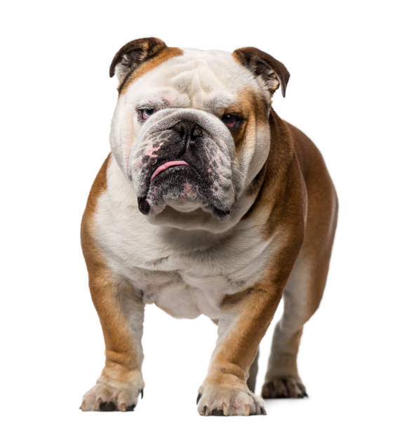 Best Grumpy Bulldog Stock Photos, Pictures & Royalty-Free ...