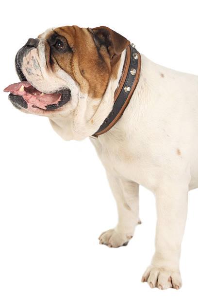 English bulldog picture id154933328?b=1&k=6&m=154933328&s=612x612&w=0&h=s9 7o kiidwkw4s9mvmydn2qqawyqri33lsw0mjqfye=
