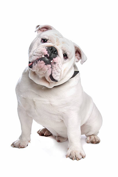 English Bulldog English Bulldog in front of a white background bulldog stock pictures, royalty-free photos & images