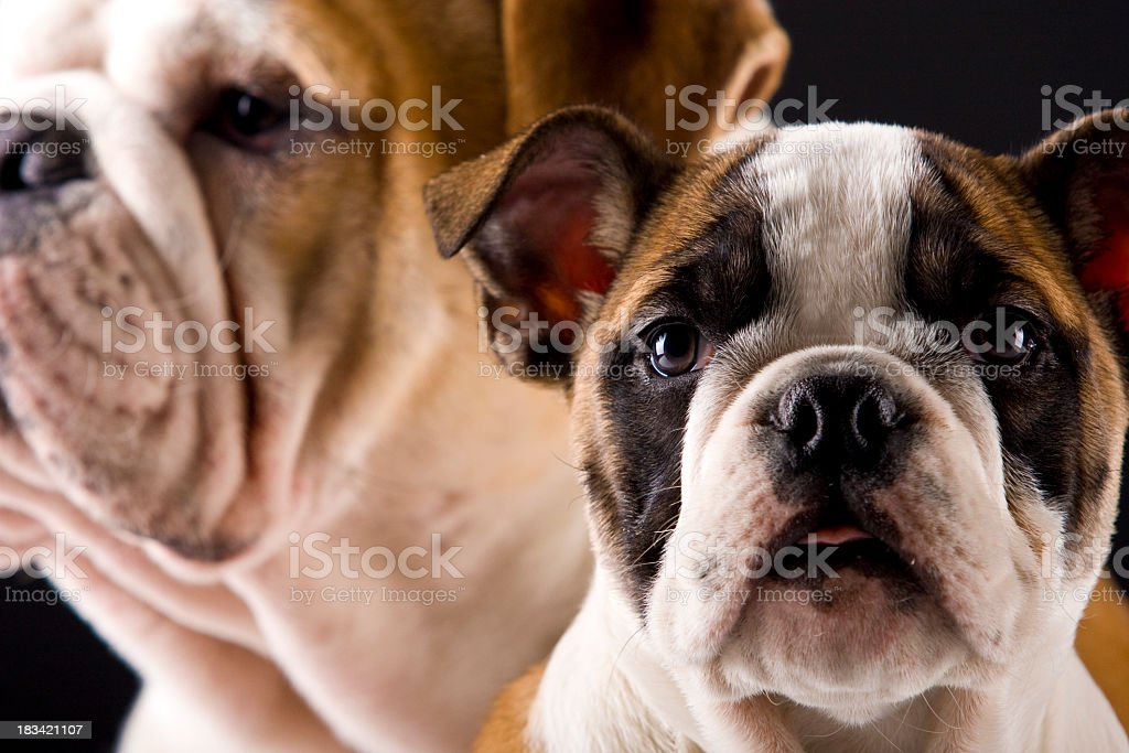 english bulldog royalty-free stock photo