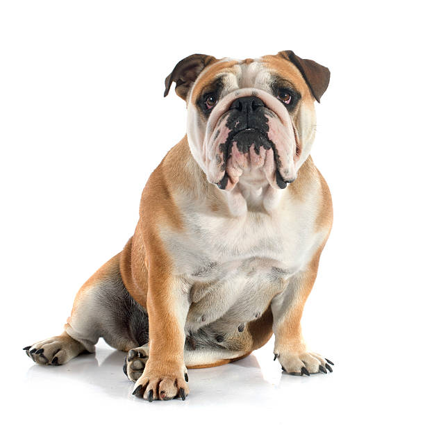English bulldog picture id517151143?b=1&k=6&m=517151143&s=612x612&w=0&h=tteqhyxeigb1 zcbjagjlfvh65a0hm9ezox7v0uh93o=