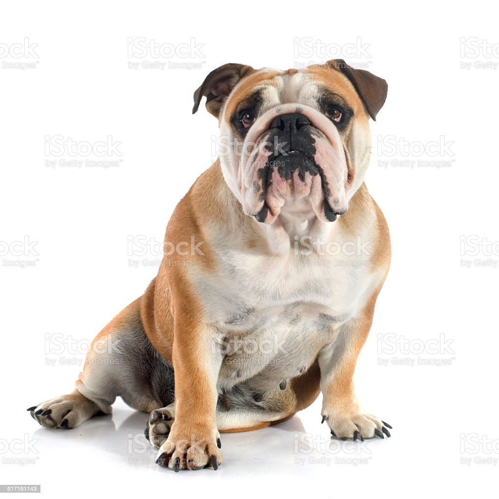 Bouledogue anglais - Photo