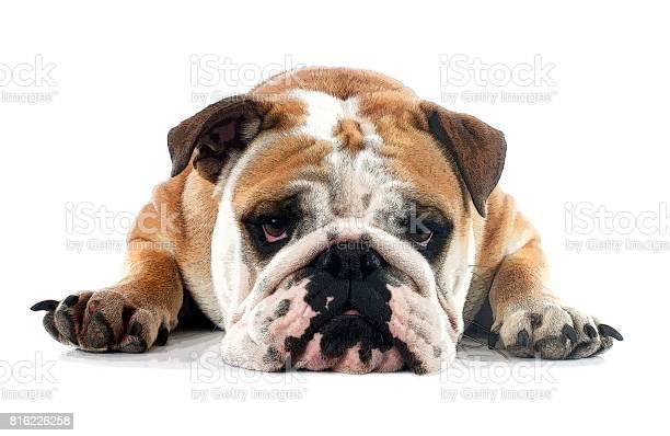 English bulldog picture id816226258?b=1&k=6&m=816226258&s=612x612&h=9kyg8xd96zws trzijeauot5ox8fhhrcmq3uibq eak=