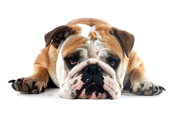 english bulldog english bulldog in front of white background bulldog stock pictures, royalty-free photos & images